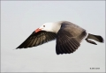 California;Southwest-USA;Heermanns-Gull;Gull;Larus-heermanni;flying-bird;one-ani