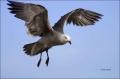 California;Southwest-USA;Heermanns-Gull;Gull;Flight;Heermanns-Gull;Larus-heerman