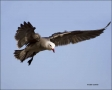 California;Southwest-USA;Heermanns-Gull;Gull;Flight;Larus-heermanni;flying-bird;