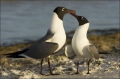 Florida;Southeast-USA;Laughing-Gull;Gull;Larus-atricilla;Two-animals;close-up;co