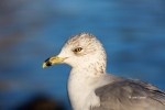 Animals-in-the-Wild;Gull;Larus-delawarensis;Photography;Ring-billed-Gull;bird;cl