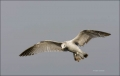 Gull;Flight;Ring-billed-Gull;Larus-delawarensis;Flying-Bird;action;active;aerody