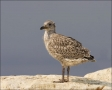 Herring-Gull;Gull;Larus-argentatus;Juvenile;One;avifauna;bird;birds;feather;feat