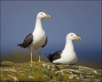 Lesser-Black-backed-Gull;Larus-fuscus;portrait;one-animal;close-up;color-image;p