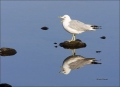 Gull;Ring-billed-Gull;Larus-delawarensis;Reflection;one-animal;close-up;color-im