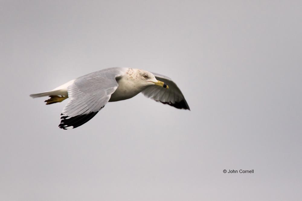 Gull;Larus-delawarensis;Ring_billed-Gull;flight