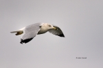 Gull;Larus-delawarensis;Ring-billed-Gull;flight