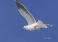 Larus-schistisagus;Gull;Slaty-backed-Gull;Flying-bird;action;aloft;behavior;flig