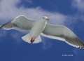 Larus-schistisagus;Gull;Slaty-backed-Gull;Flying-Bird;action;active;aerodynamic;