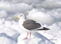 Larus-schistisagus;Gull;Slaty-backed-Gull;One;one-animal;avifauna;bird;birds;fea
