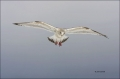 Slaty-backed_Gull