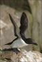 Alca-torda;Razorbill;Flight;Newfoundland;One;avifauna;bird;birds;feather;feather