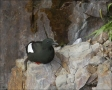 Black-Guillemot;Guillemot;Cepphus-grylle;one-animal;close-up;color-image;nobody;