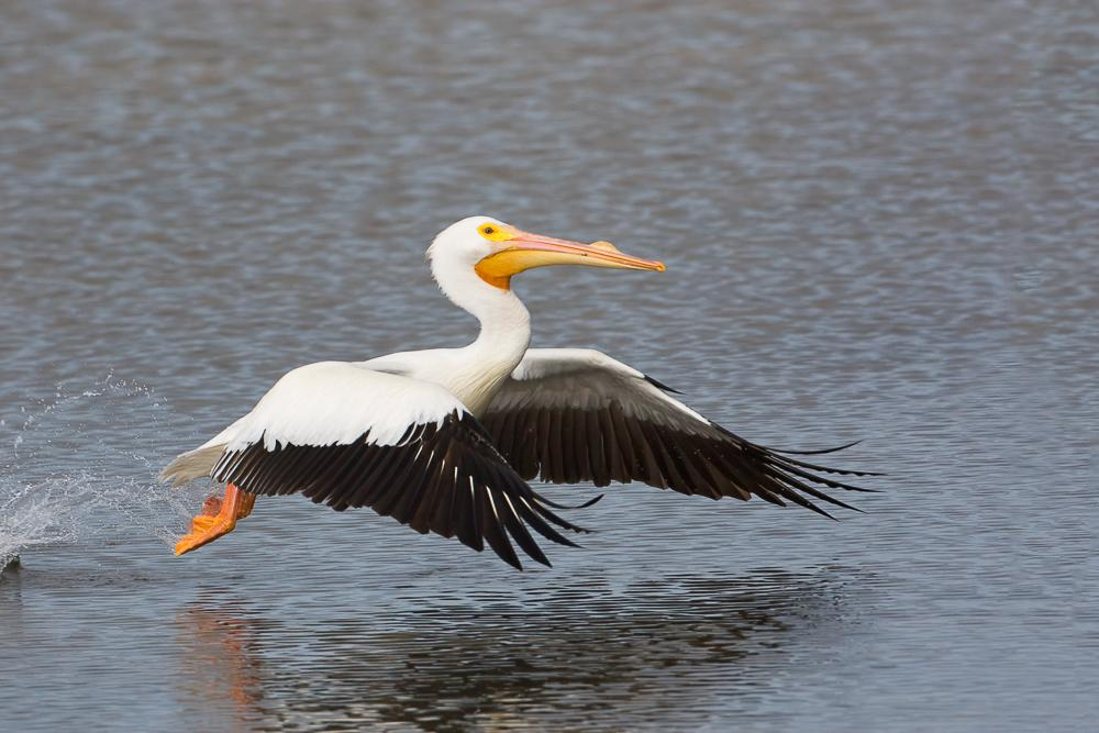 American White Pelican;Flying Bird;Pelecanus erythrorhynchos;Pelican;Photography;White Pelican;action;active;aloft;behavior;birds;color image;flight;fly;flying;in flight;motion;movement;one animal;soar;soaring;wing;winged;wings