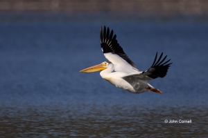 American-White-Pelican;Pelecanus-erythrorhynchos;Pelican;White-Pelican,-AmericBi