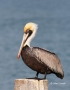 Brown-Pelican;Pelican;Pelecanus-occidentalis;One;one-animal;avifauna;bird;birds;