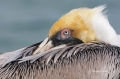 Brown-Pelican;Pelican;Pelecanus-occidentalis;Sleeping;One;one-animal;avifauna;bi