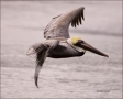 Brown-Pelican;Pelican;Pelecanus-occidentalis;flying-bird;one-animal;close-up;col