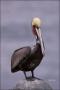 Brown-Pelican;Pelican;Pelecanus-occidentalis;one-animal;close-up;color-image;nob