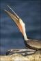 California;Southern;USA;Brown-Pelican;Pelican;Pelecanus-occidentalis;one-animal;