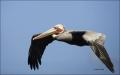 California;USA;Brown-Pelican;Pelican;Pelecanus-occidentalis;flying-bird;one-anim