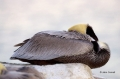 Pelican;Pelecanus-occidentalis;Sleeping;Pelican;Pelecanus-occidentalis;Sleeping;