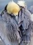 Pelican;Pelecanus-occidentalis;Sleeping;Brown-Pelican;Pelican;Pelecanus-occident
