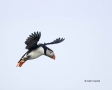 Atlantic-Puffin;Flight;Puffin;Fratercula-arctica;Flying-bird;action;aloft;behavi