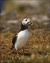 Puffin;Atlantic-Puffin;Prey;Fratercula-arctica;one-animal;close_up;color-image;n