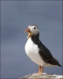 Puffin;Atlantic-Puffin;Fratercula-arctica;one-animal;close-up;color-image;nobody