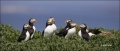 Puffin;Atlantic-Puffin;Fratercula-arctica;Panoramic;one-animal;close_up;color-im