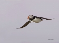 Puffin;Atlantic-Puffin;Flight;Fratercula-arctica;flying-bird;one-animal;close_up