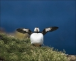 Atlantic-Puffin;Puffin;Fratercula-arctica;one-animal;close_up;color-image;nobody