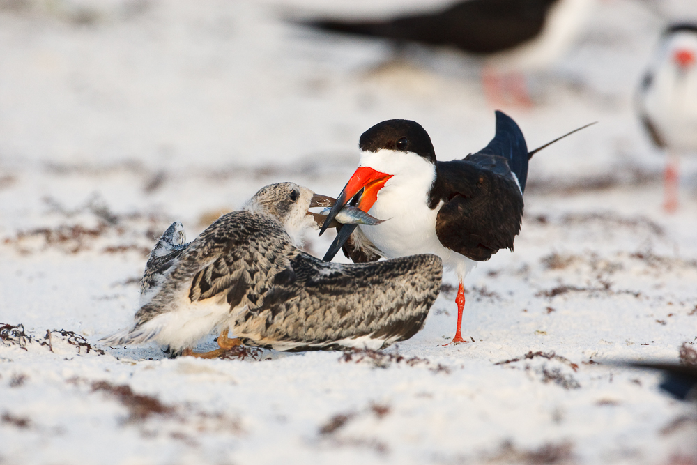 Black Skimmer;Rynchops niger;Skimmer;bond;bonding;chick;chicks;family;innocent;juvenile;parent;relationship;relationships