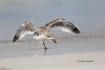 Black-Skimmer;One;Rynchops-niger;Skimmer;avifauna;beach;bird;birds;color-image;c