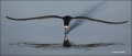 Black-Skimmer;Florida;Southeast-USA;Flight;Foraging;Rynchops-niger;flying-bird;o