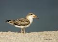 Skimmer;Juvenile;Rynchops-niger;Black-Skimmer;Skimmer;Juvenile;Rynchops-niger;on