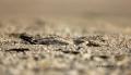 Skimmer;Juvenile;Rynchops-niger;Sleeping;Black-Skimmer;one-animal;close-up;color