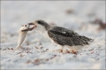 Black-Skimmer;Skimmer;Rynchops-niger;Chick;Chicks;One;one-animal;avifauna;bird;b