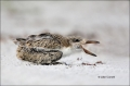 Black-Skimmer;Skimmer;Rynchops-niger;Chick;Chicks;One;one-animal;avifauna;bird;b