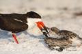 Black-Skimmer;Skimmer;Rynchops-niger;Chick;Chicks;Parent;bond;bonding;family;inn