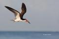 Black-Skimmer;Skimmer;Rynchops-niger;Flight;Flying-bird;action;aloft;behavior;fl