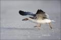 Black-Skimmer;Skimmer;Rynchops-niger;Chick;Chicks;One;avifauna;bird;birds;feathe