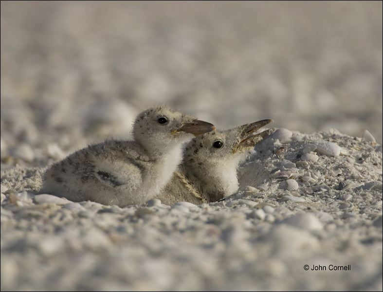 Chick;one animal;close-up;color image;photography;day;birds;animals in the wild;beach;foraging;water;outdoors;Wildlife;outdoors. Wildlife;Foraging;Black Skimmer;Skimmer;Florida;Southeast USA;Rynchops niger;portrait;watchful;Close up;Chicks
