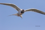 Animals-in-the-Wild;Flying-Bird;Forsters-Tern;Forsters-Tern;Photography;Royal-Te