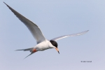 Fliying-Bird;Flying-Bird;Forsters-Tern;Forsters-Tern;Photography;Sterna-fosteri;