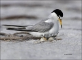 Least-Tern;Tern;Nest;Sterna-antillarum;Eggs;one-animal;close-up;color-image;nobo
