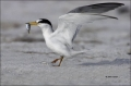 Least-Tern;Tern;Prey;Sterna-antillarum;one-animal;close-up;color-image;nobody;ph