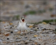 Chick;Killdeer;one-animal;close-up;color-image;nobody;photography;day;birds;anim