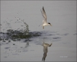 Least-Tern;Tern;Flight;Prey;Sterna-antillarum;flying-bird;one-animal;close-up;co